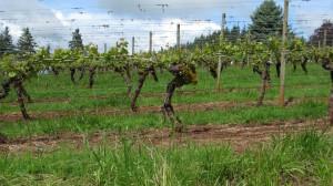 Vineyard at Vitae Springs Oregon Wine Country