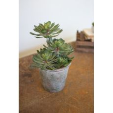 Large Zwartkop Succulent In A Pot Set of 2